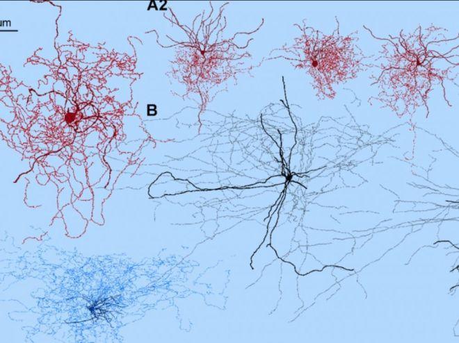 neurone églantier